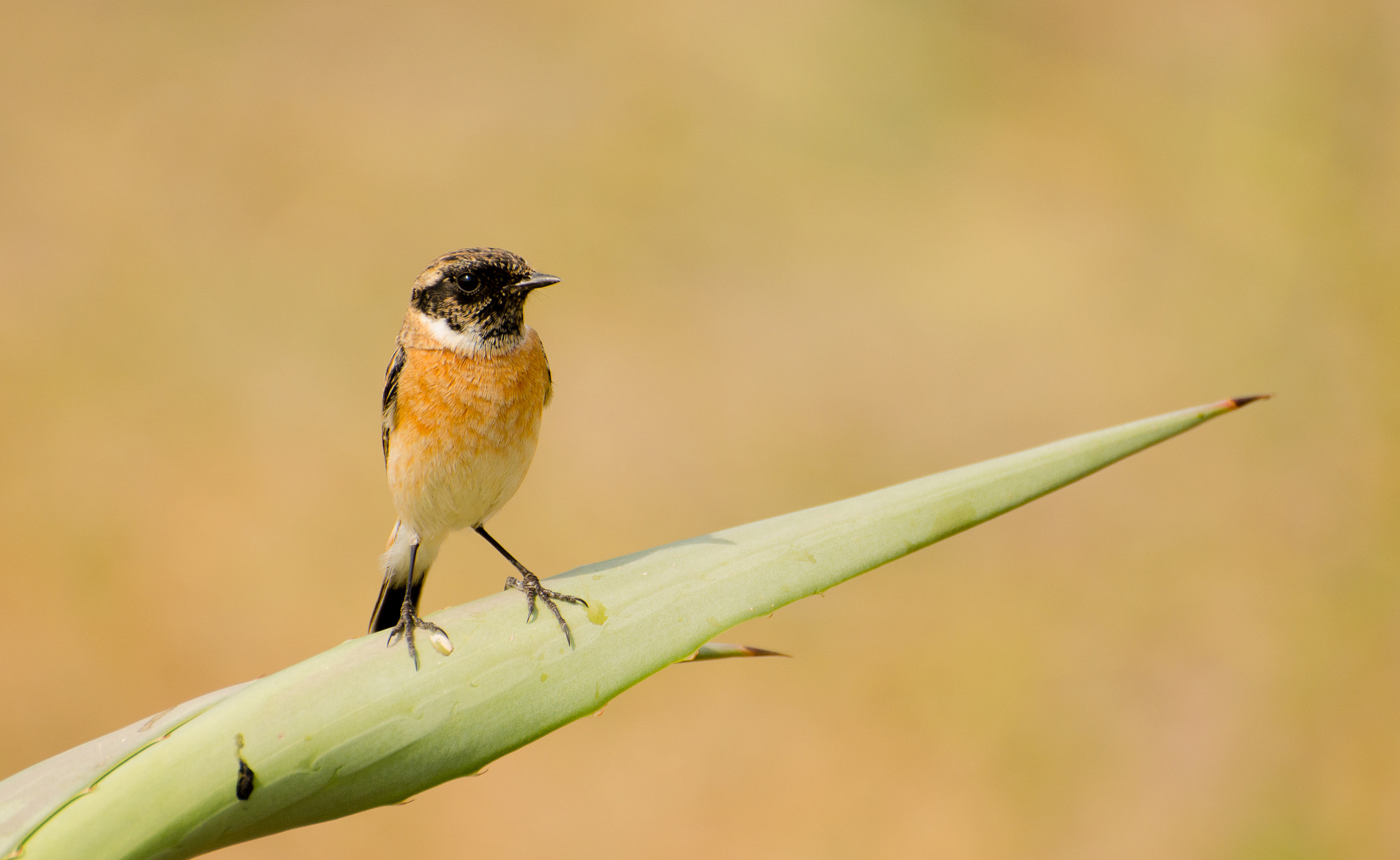 Photograph Common Stonechat by Mahesh Shenoy on 500px