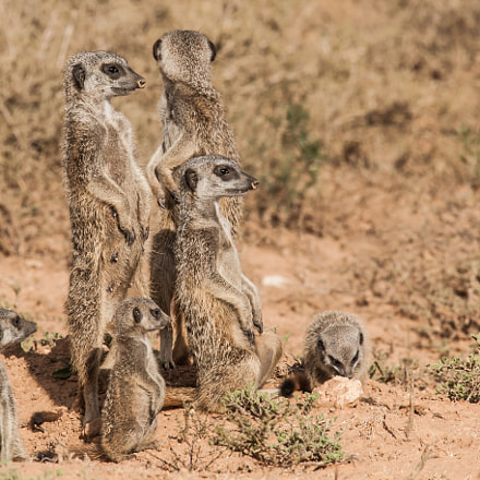 Meerkats on the Watch, Pentax K100D, Sigma EX APO 100-300mm F4 IF