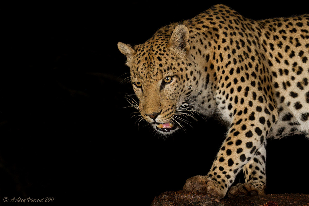 Photograph Nocturnal Predator by Ashley Vincent on 500px