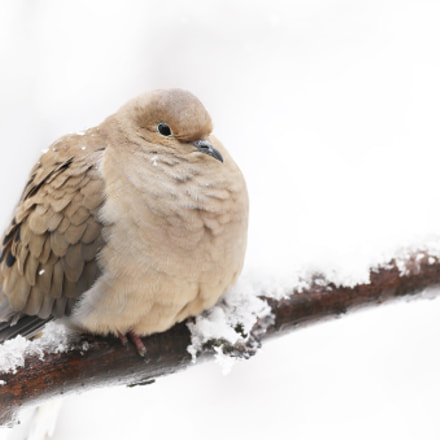 Mourning dove, Canon EOS-1D X