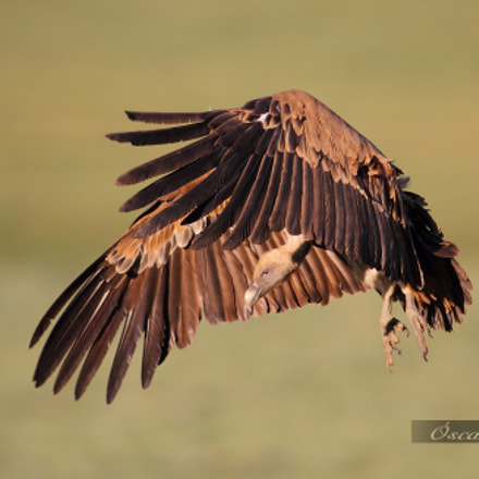 Griffon landing over carrion., Canon EOS 7D, Canon EF 400mm f/2.8L