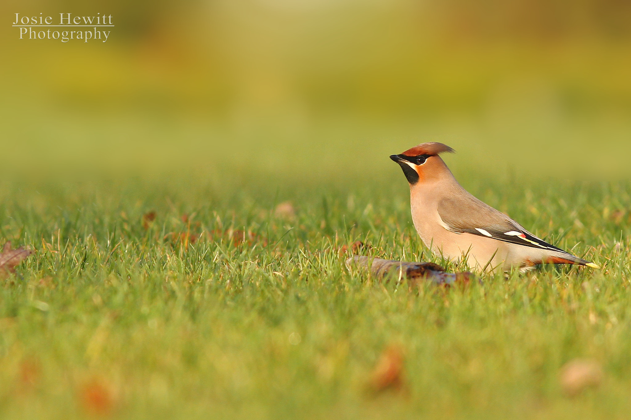 Photograph Waxwing by Josie Hewitt on 500px