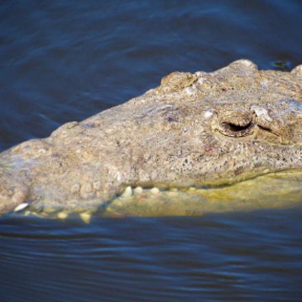 Crocodylus acutus, 21 March 2015