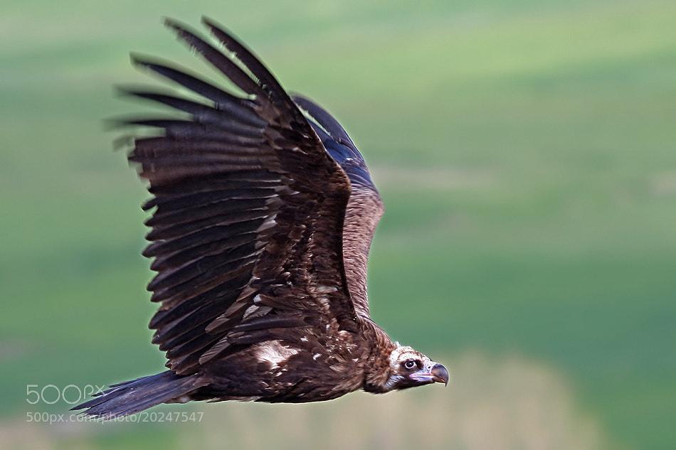 Photograph black vulture......... by selim tümir on 500px