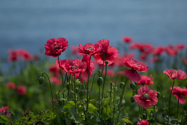 Photograph Poppies by Jill Harrison on 500px
