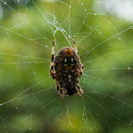 Garden Spider, Sony DSLR-A350, Sigma ZOOM-alpha 35-135mm F3.5-4.5