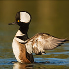 Постер, плакат: Hooded Merganser Wingflap