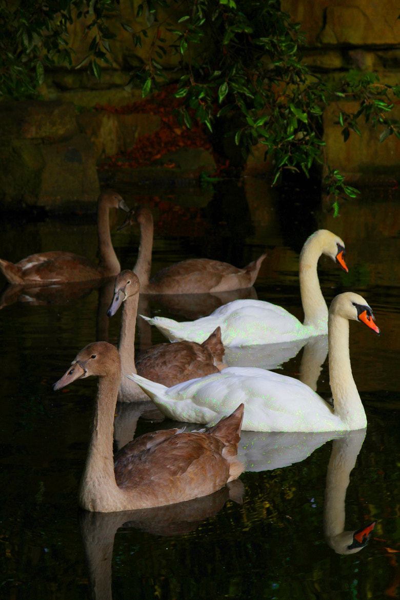 Photograph img 394 Swan family of stephens green  by Martys Photos on 500px