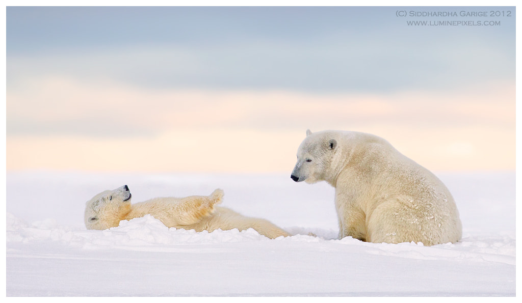 Photograph Ice Bears of Arctic - 9 by Siddhardha Garige on 500px