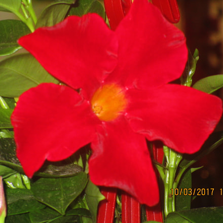 Red flower, Canon IXUS 155