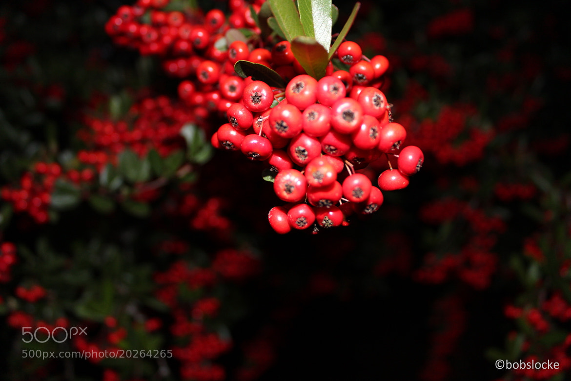 Photograph berries  by Bobby Locke on 500px
