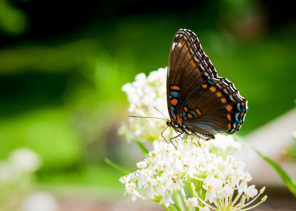 Photograph Red Spotted Purple Admiral on Milkweed by Patrick Anderson on 500px