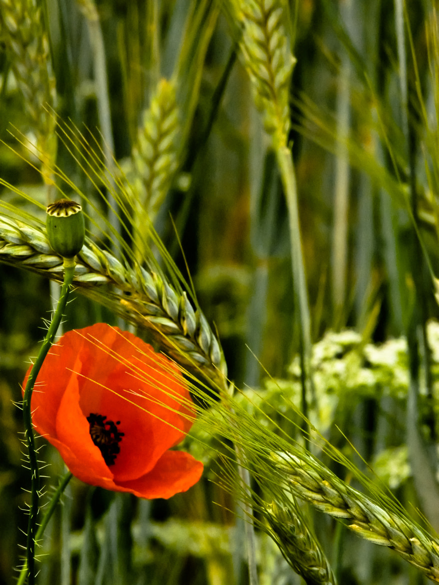 Photograph Poppy by Rucsandra Calin on 500px