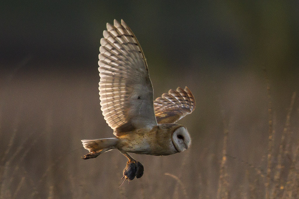 Photograph Barn Owl with dinner by Elliot Lowe on 500px