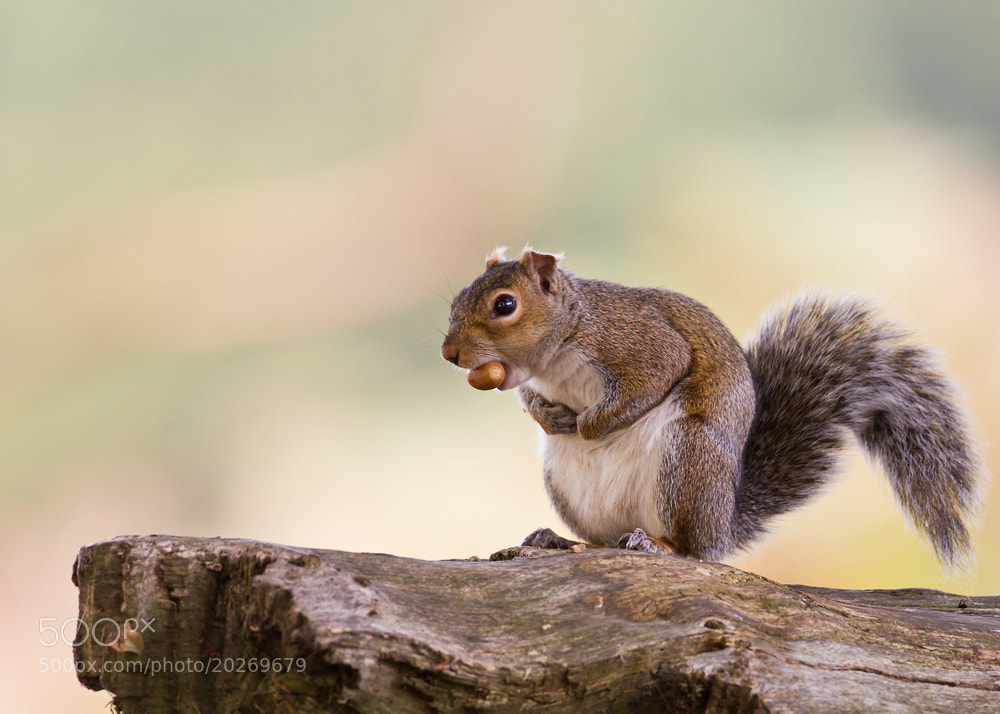 Photograph Grey Squirrel by Giedrius Stakauskas on 500px