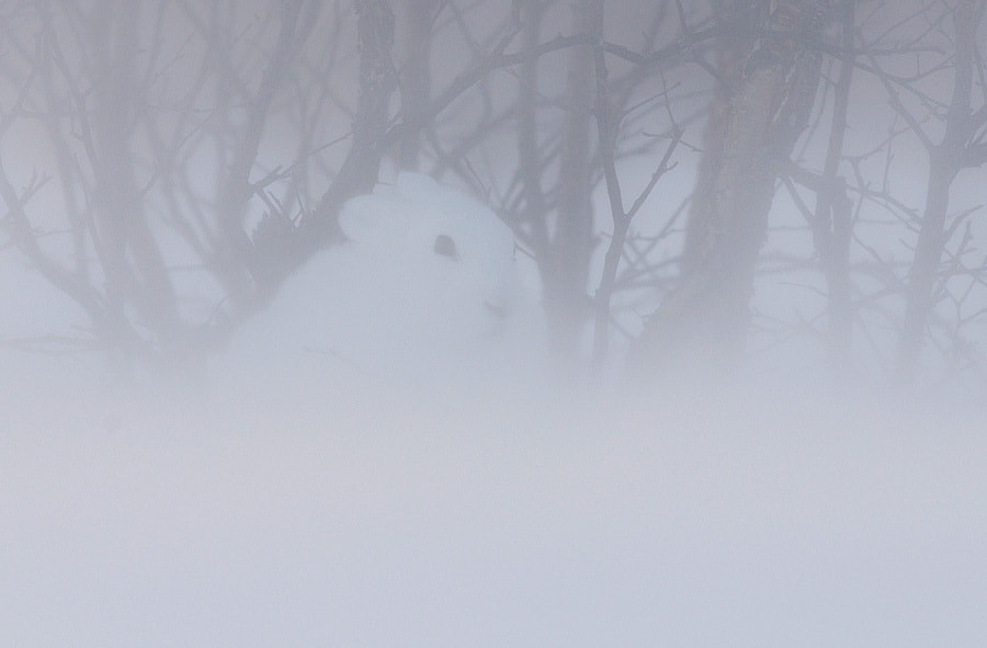 Photograph Can you see white rabbit in this blizzard? by Igor Shpilenok on 500px