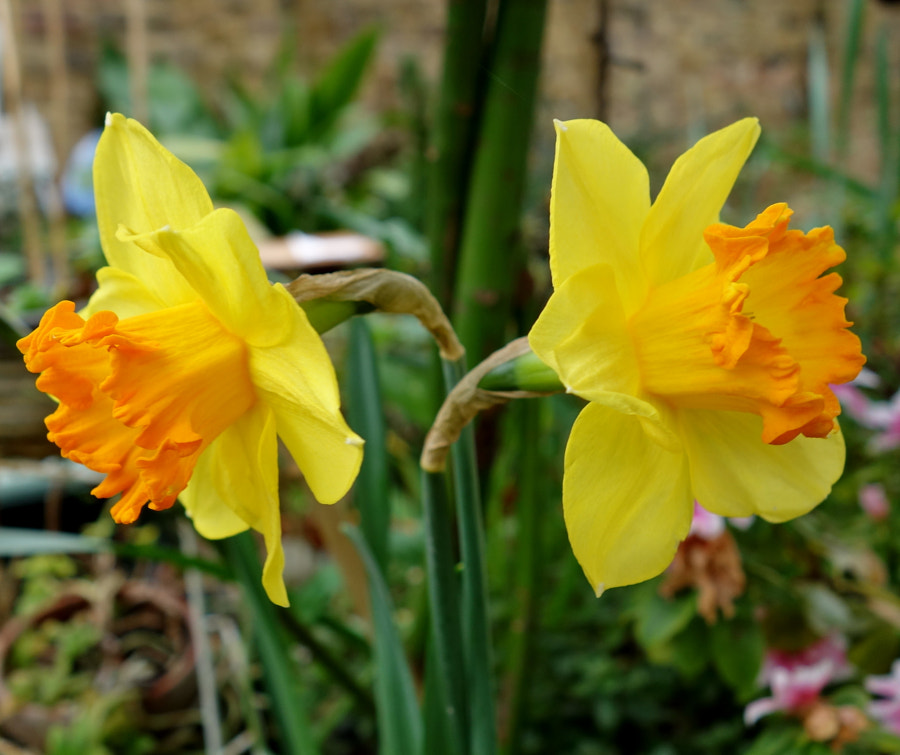 """""""Daffodils are an optimistic flower"""" by Sandra on 500px.com"""