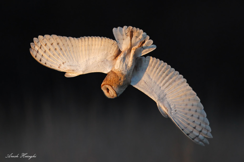 Photograph Diving Barn Owl by Ari Hazeghi on 500px