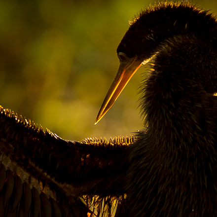 Anhinga, Canon EOS 5D MARK III, Canon EF 300mm f/4L