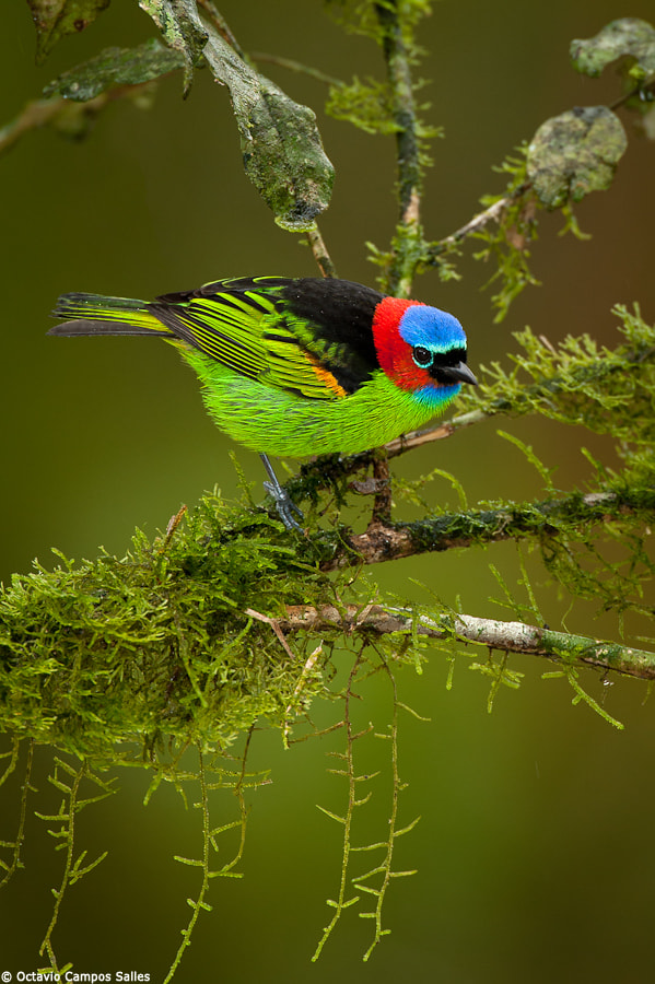 Photograph Red-necked Tanager (Tangara cyanocephala) by Octavio Campos Salles on 500px