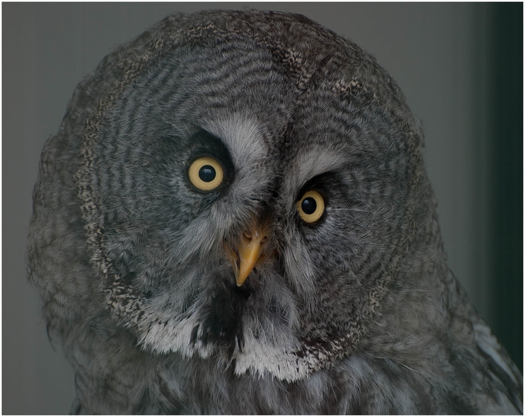 Photograph Great Grey Owl by Cor Pijpers on 500px