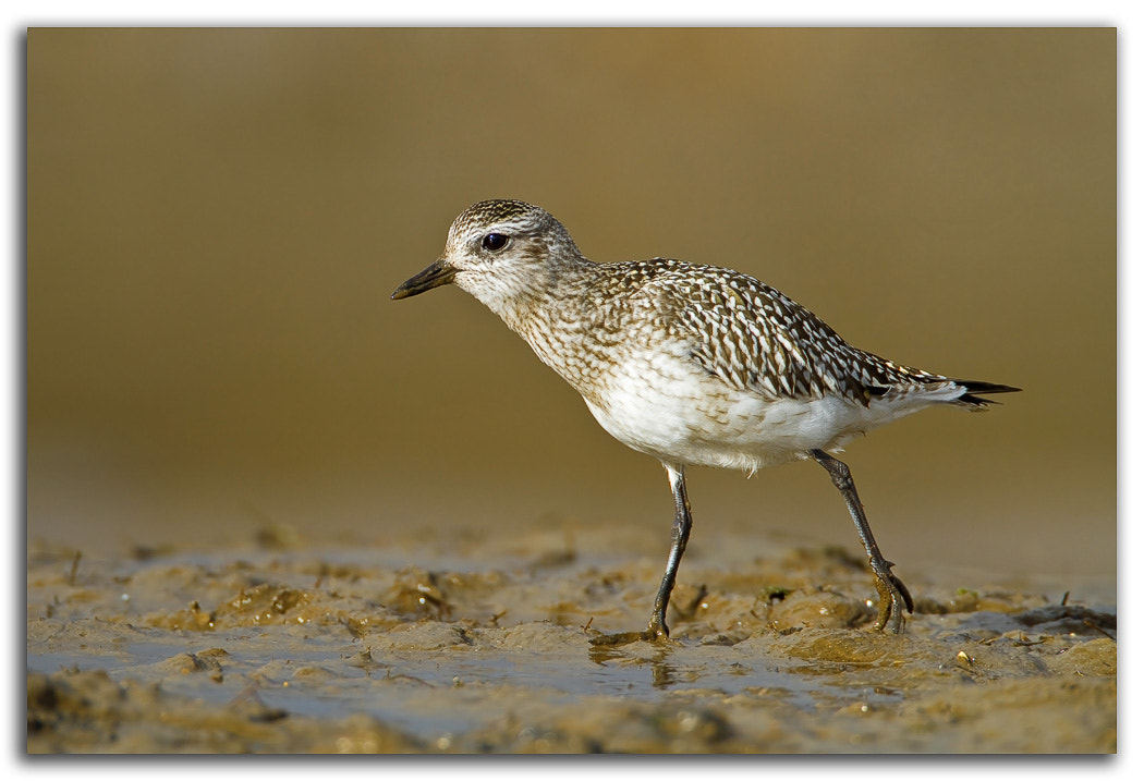 Photograph Grey Plover by David Whistlecraft on 500px