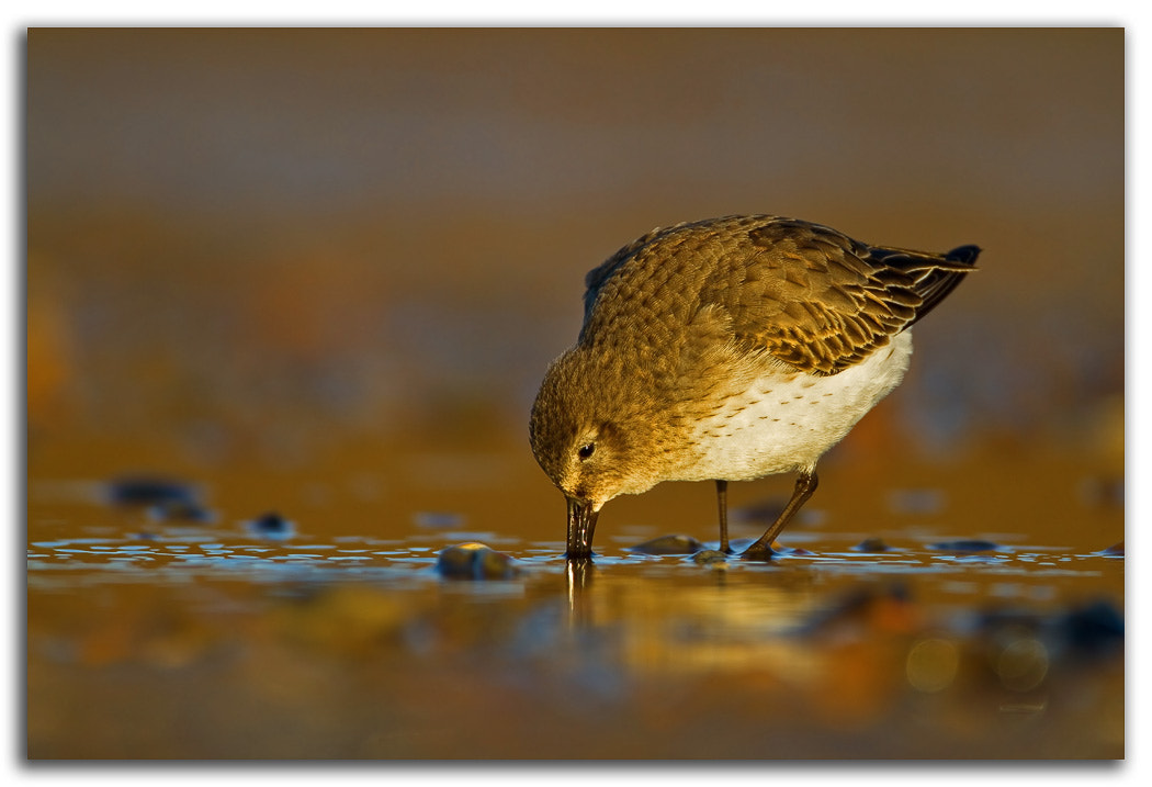 Photograph Dunlin by David Whistlecraft on 500px