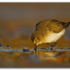 Dunlin by David Whistlecraft (DavidWhistlecraft)) on 500px.com