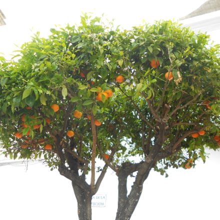 orange tree, Nikon COOLPIX S4150