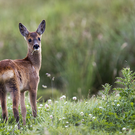 young roe deer, Canon EOS-1D X, Canon EF 400mm f/2.8L IS II USM + 1.4x