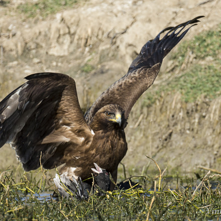 Booted Eagle with Common, Canon EOS-1D X, Canon EF 800mm f/5.6L IS