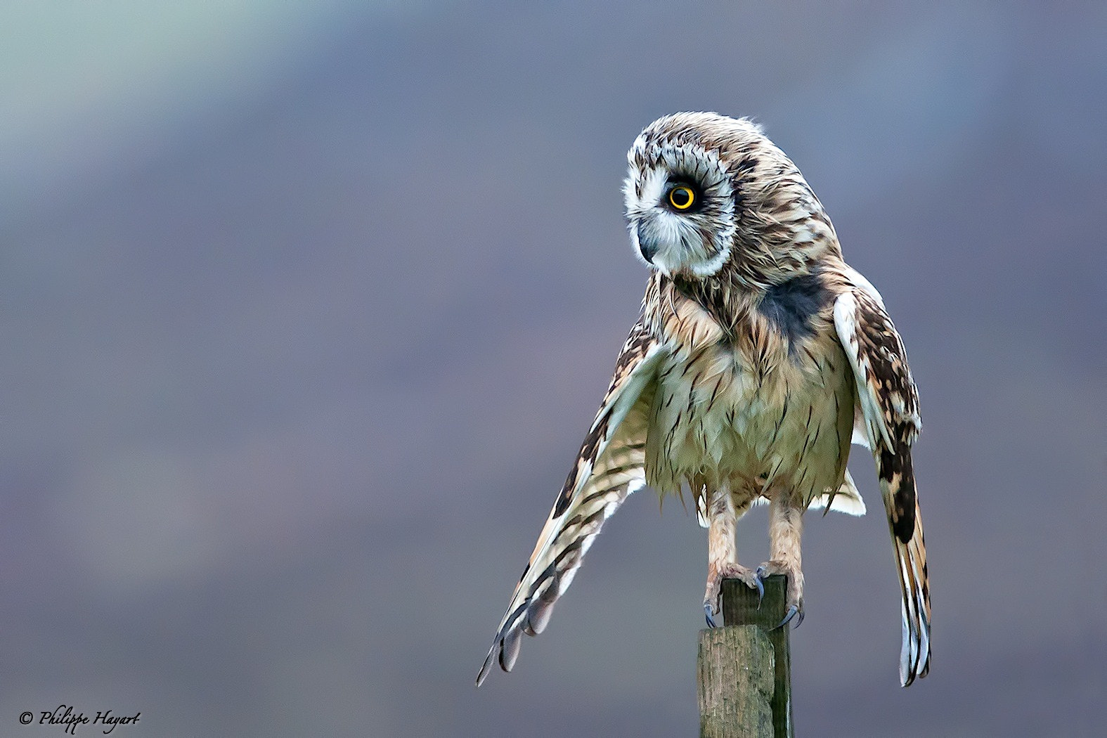 Photograph Short-eared owl in Scotland by Philippe Hayart on 500px
