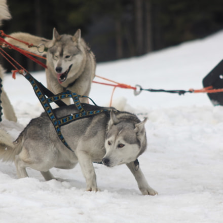 Pulling Husky, Canon EOS 550D, Canon EF 90-300mm f/4.5-5.6