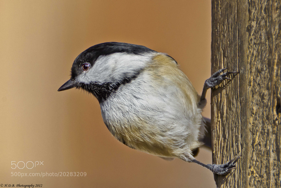 Photograph Black-capped Chickadee by Harold Begun on 500px