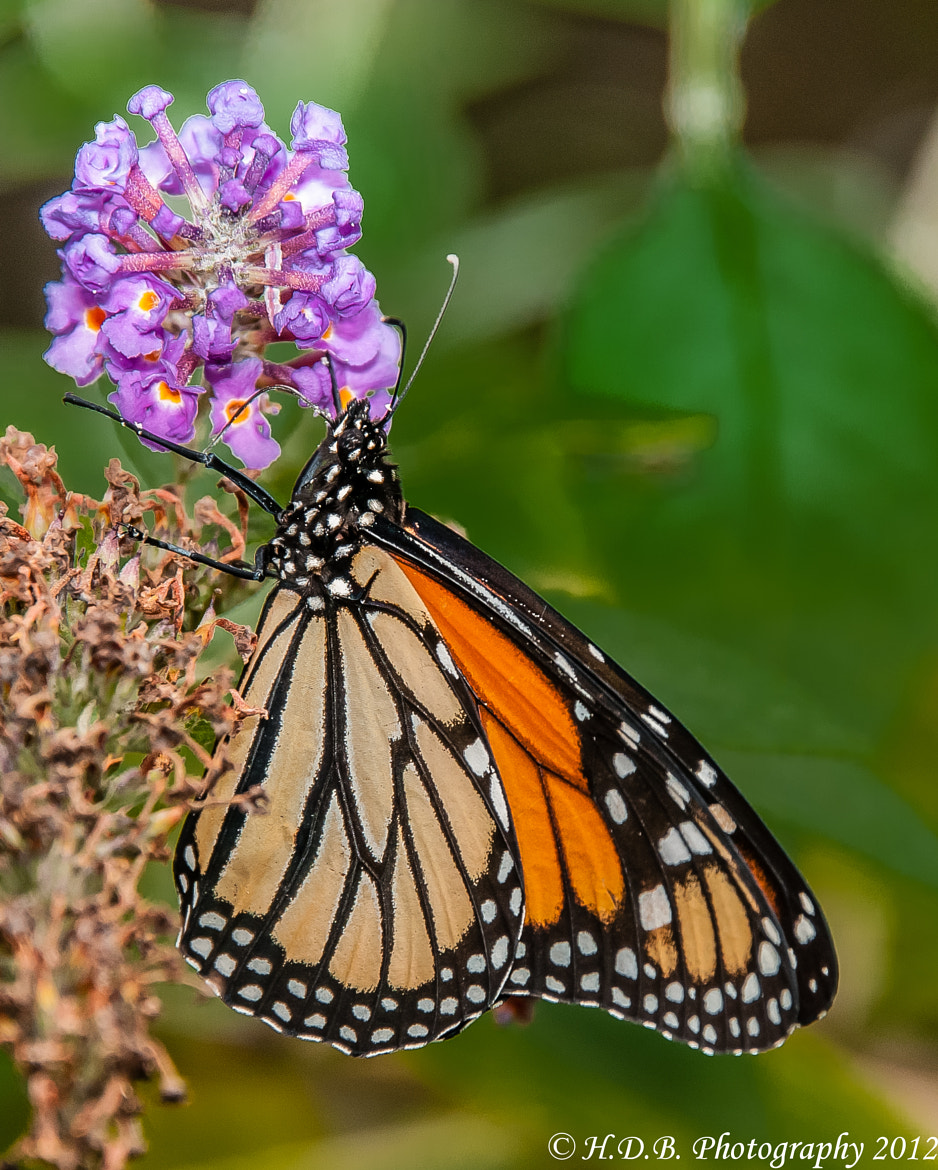 Photograph Monarch Butterfly by Harold Begun on 500px