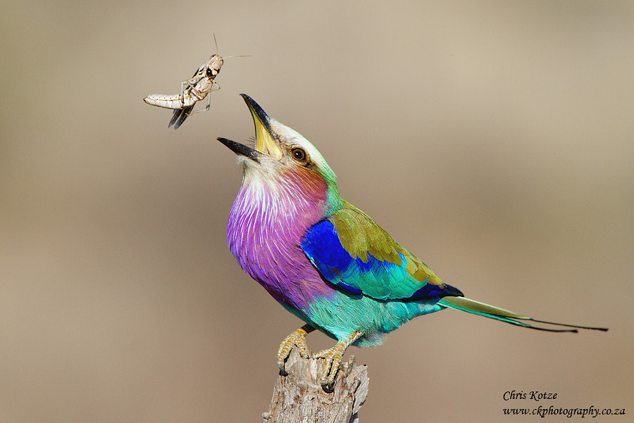 Lilac-breasted Roller by Chris Kotze on 500px.com