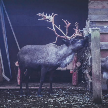 Reindeer, Canon EOS 1100D, Canon EF-S 18-135mm f/3.5-5.6 IS