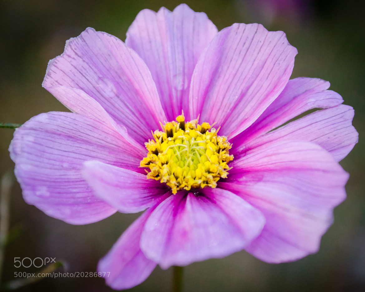 Photograph Purple Flower by Soleil Neon on 500px