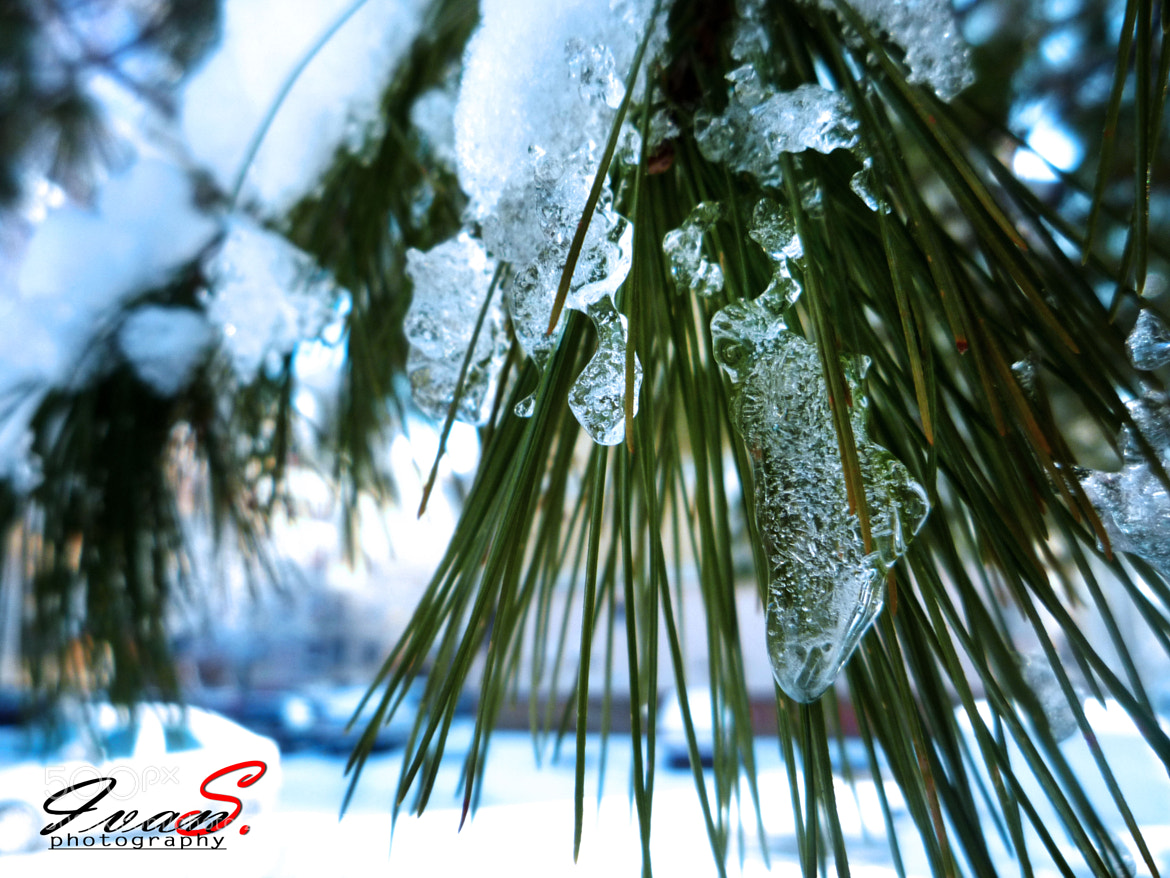 Photograph Snowy Pine Needles by Ivan S. Photography on 500px