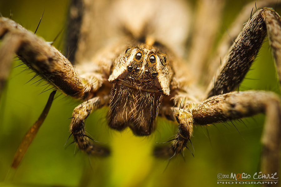 Photograph Pisaura mirabilis spider portrait photo by Mario Čehulić on 500px