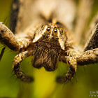 Постер, плакат: Pisaura mirabilis spider portrait photo