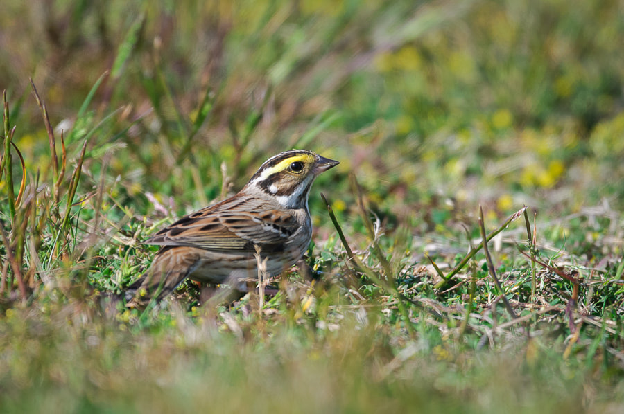 Photograph Yellow-browed Bunting by Yuji Nishimura on 500px