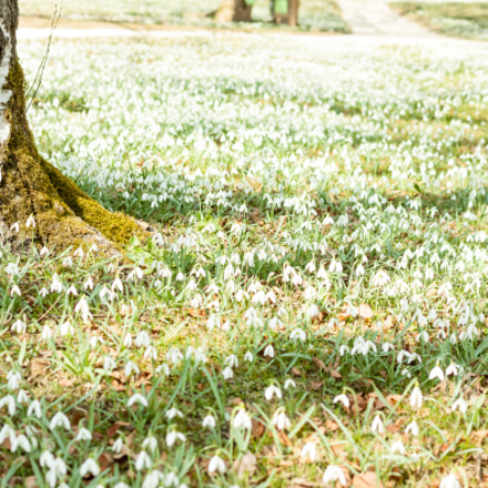 many beautiful white snowdrops, Canon EOS 500D, Canon EF 40mm f/2.8 STM