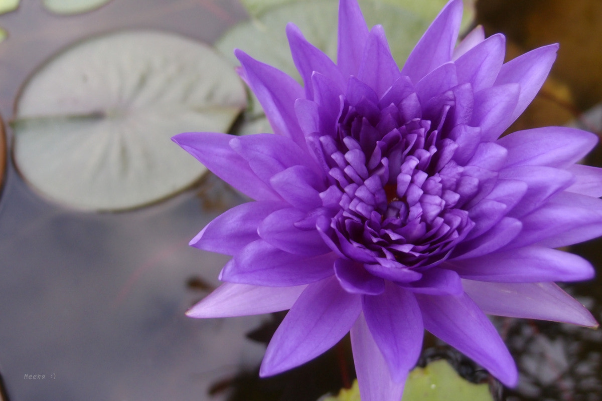 Photograph blue lotus  by Everyday IsAGoodDay on 500px