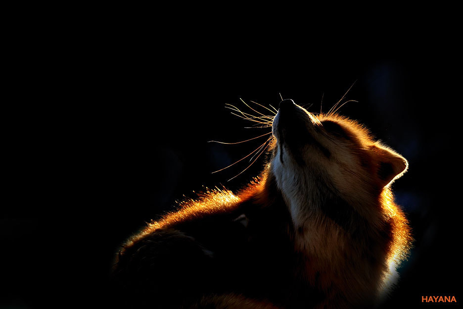 Photograph Red fox by Ryu Jong soung on 500px