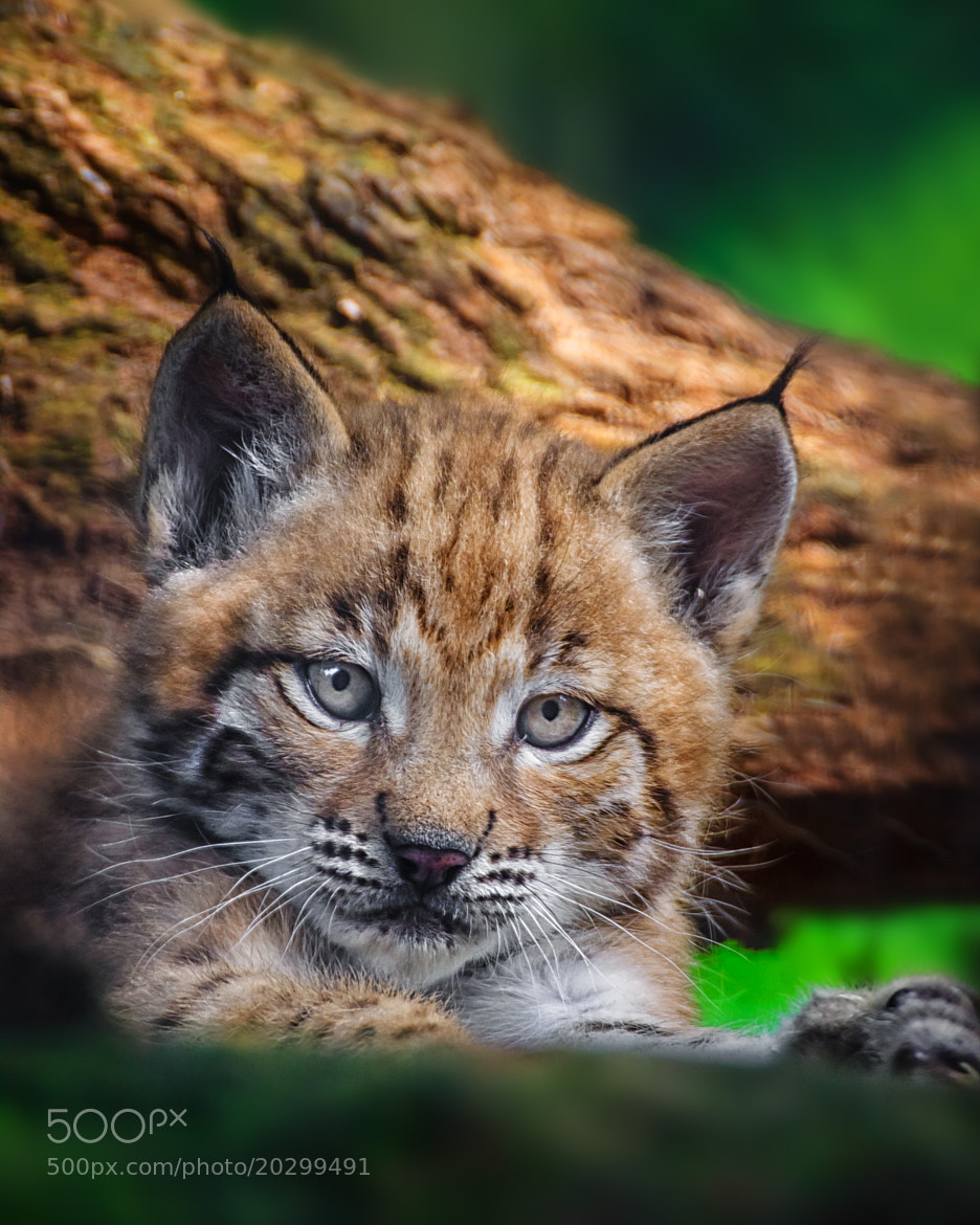 Photograph Lynx kitten cap by Stefan Betz on 500px