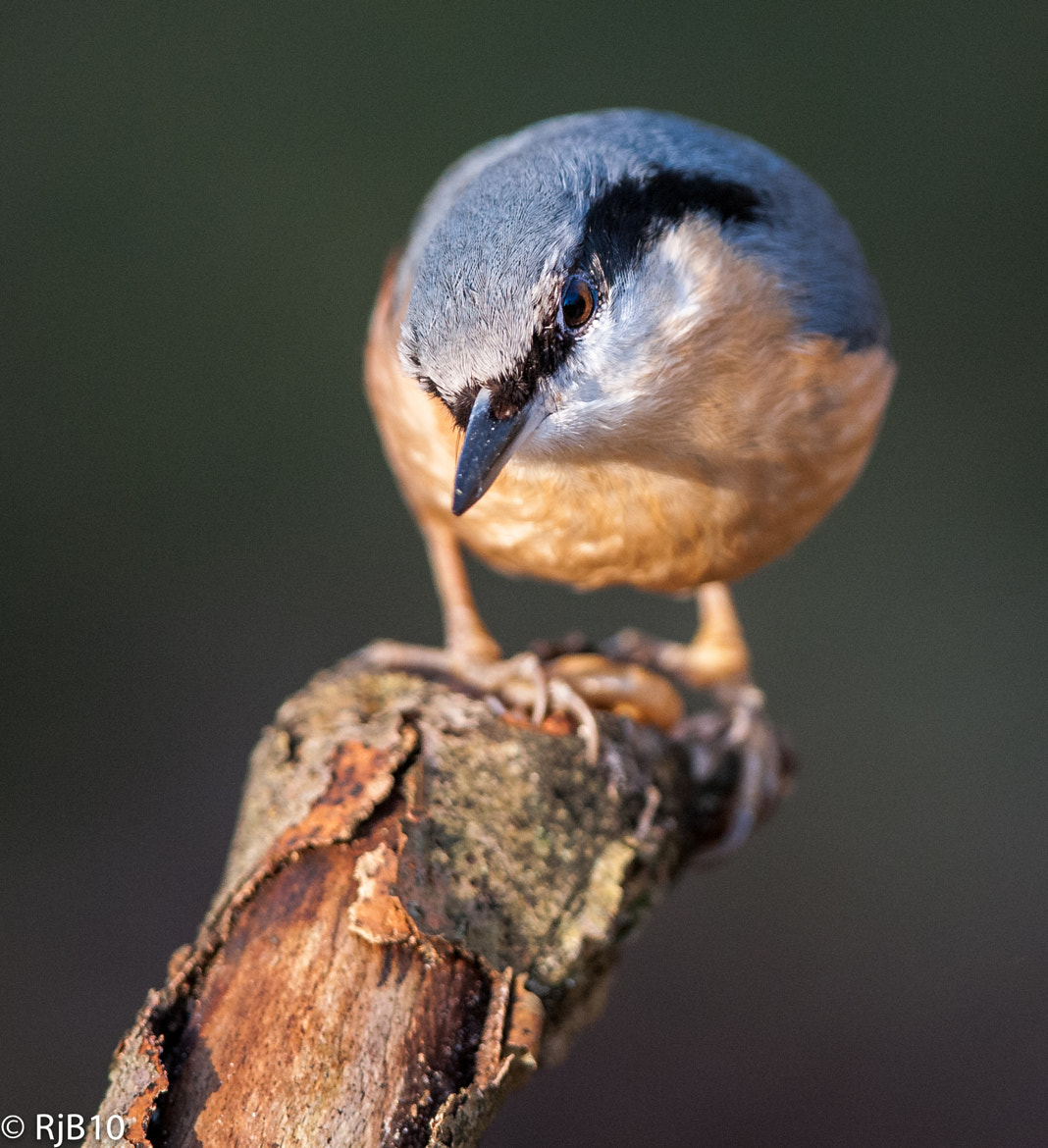 Photograph Nuthatch by Rob Bunday on 500px
