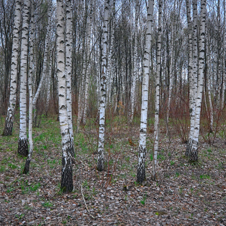 april, spring, birches..., Canon EOS 1100D, Canon EF-S 18-55mm f/3.5-5.6 IS STM