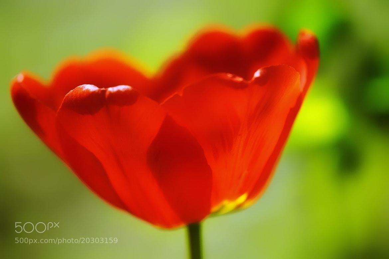 Photograph tulip by Huszti  Attila on 500px