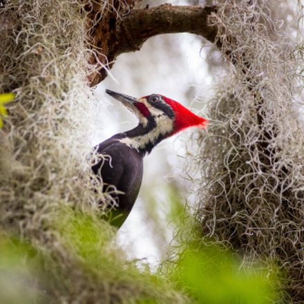 Pileated Woodpecker, Canon EOS 5D MARK III, Canon EF 300mm f/4L